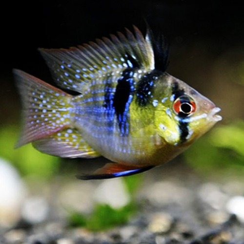 "[남미시클] Mikrogeophagus ramirezi ""German Ball"" 저먼볼 라미네지"