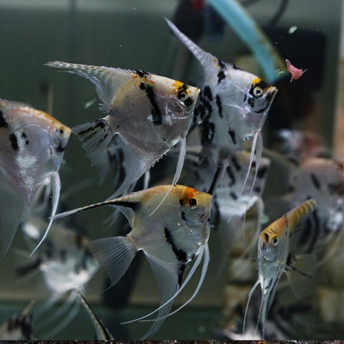 [엔젤피쉬] pterophyllum scalare tricolor angel 삼색엔젤